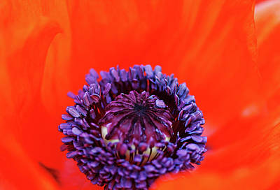 Photograph - Poppy Whorl by Debbie Oppermann