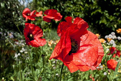 Photograph - Poppy Wind by Stewart Scott