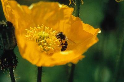 Poppy With Bee Friend Art Print by Laurie Paci