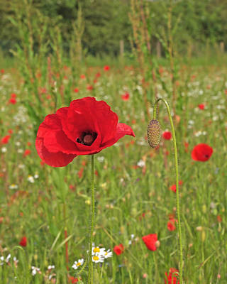 Photograph - Poppy With Bud by Gill Billington