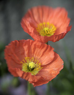 Photograph - Poppys by Barry Culling