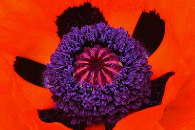 Photograph - Poppy's Intense Center by Polly Castor
