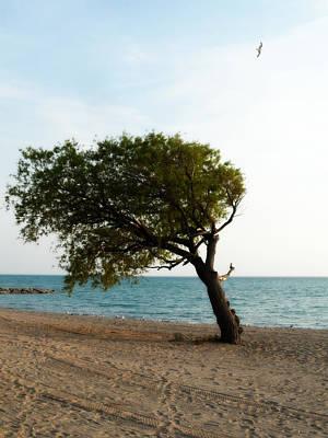 Photograph - popular Beach Tree by Cyryn Fyrcyd