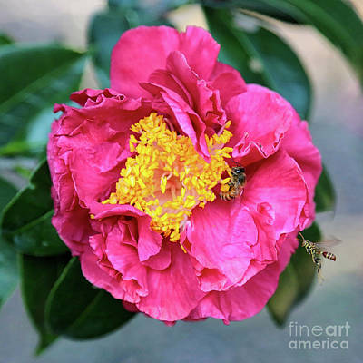 Bee On Flower Photograph - Popular Pink Camellia Square by Carol Groenen