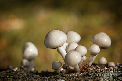 Agaricales Photograph - Porcelain Fungus by Jane Rix