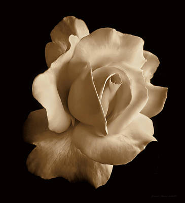 Roses Royalty-Free and Rights-Managed Images - Porcelain Sepia Rose Flower by Jennie Marie Schell