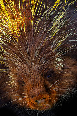 Photograph - Porcupine by Brian Stevens