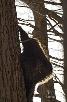 Photograph - Porcupine by Elaine Mikkelstrup