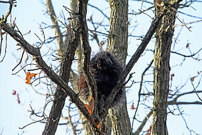 Photograph - Porcupine In Fall by Debbie Oppermann