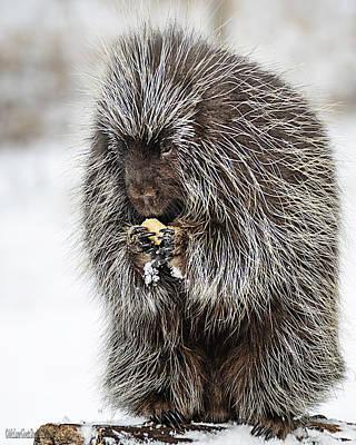 Photograph - Porcupine Nature Wear by LeeAnn McLaneGoetz McLaneGoetzStudioLLCcom