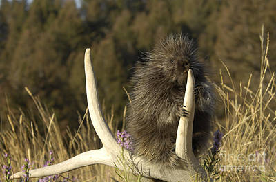 Mammals Photograph - Porcupine by Wildlife Fine Art