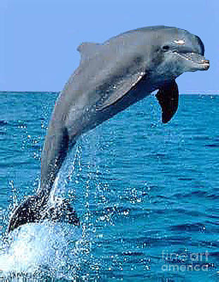 Photograph - Porpoise Leaping In The Bay Of Florida by Merton Allen