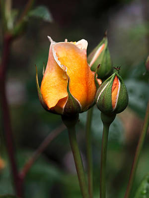Yellow Rosebud Photograph - Port Sunlight by Louise Heusinkveld