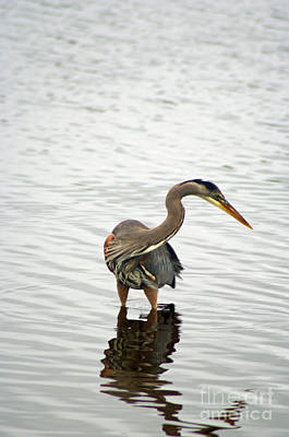 Photograph - Port Townsend Blue Heron Series by Louise Magno