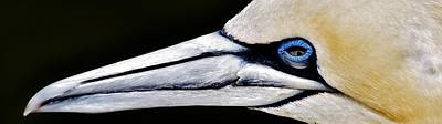 Photograph - Portait Of A Gannet by Werner Lehmann