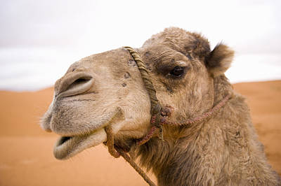 Photograph - Portait Of A North African Camel (camelus Dromedarius) Morocco, North Africa by Ben Queenborough