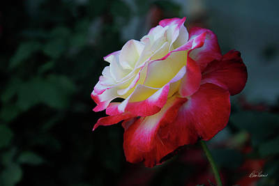 Photograph - Portait Of A Rose by Diana Haronis