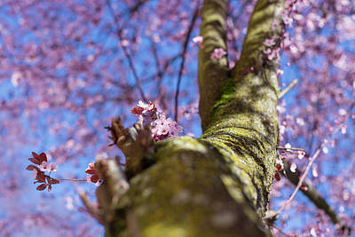 Photograph - Portland Cherry Blossoms by Kunal Mehra