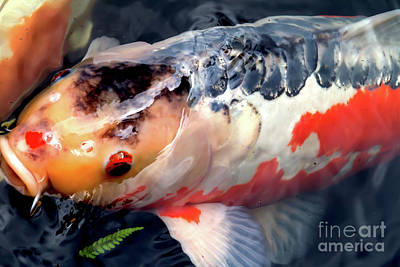 Photograph - Portland Japanese Garden Koi Pond Portland Oregon 7d156 by Wingsdomain Art and Photography