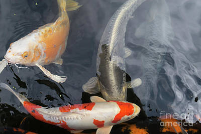 Photograph - Portland Japanese Garden Koi Pond Portland Oregon Dsc6680 by Wingsdomain Art and Photography