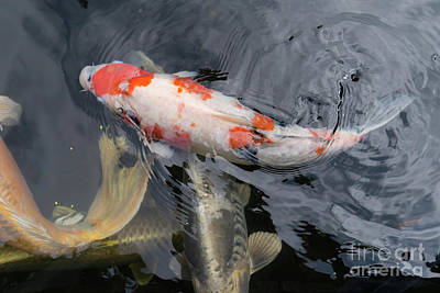 Photograph - Portland Japanese Garden Koi Pond Portland Oregon Dsc6681 by Wingsdomain Art and Photography