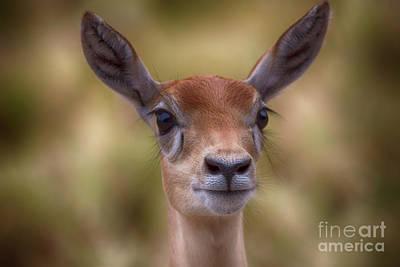 Photograph - Portrait Deer V2 by Douglas Barnard