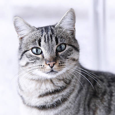 Tabby Cat Photograph - Portrait Gray Tabby Cat by Maika 777