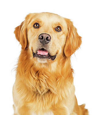 Golden Retrievers Photograph - Portrait Happy Purebred Golden Retriever Dog by Susan Schmitz