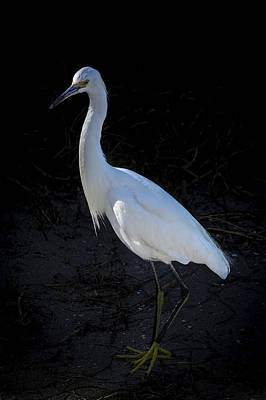 Egret Landscape Photograph - Portrait In White by Marvin Spates