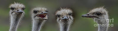 Photograph - Portrait Of 4 Ostriches With Different Points Of View by Jim Fitzpatrick