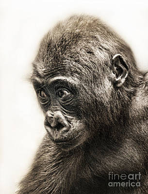 Digital Art - Portrait Of A Baby Gorilla Digitally Altered II by Jim Fitzpatrick