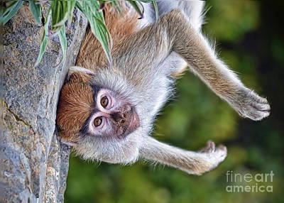 Photograph - Portrait Of A Baby Patas Monkey Hanging Upside Down by Jim Fitzpatrick