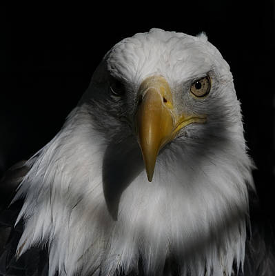 Photograph - Portrait Of A Bald Eagle by Ernie Echols