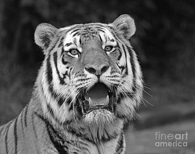 Photograph - Portrait Of A Big Cat II by Jim Fitzpatrick