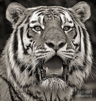 Photograph - Portrait Of A Big Cat IIi by Jim Fitzpatrick