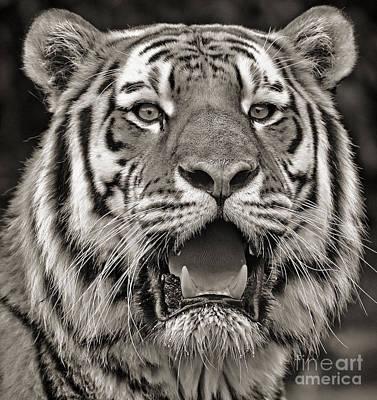 Photograph - Portrait Of A Big Cat IIi by Jim Fitzpatrick