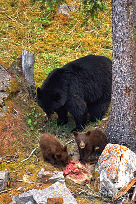 Photograph - Portrait Of A Black Bear Family Feast by Adam Jewell