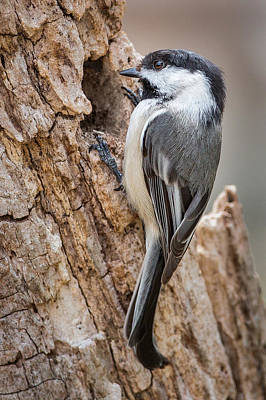 Photograph - Portrait Of A Black Capped Chickadee by Bill Wakeley