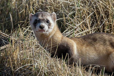 Black-footed Ferret Photograph - Portrait Of A Black-footed Ferret by Tony Hake