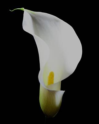 Photograph -  Portrait Of A Calla Lily by Lynda Anne Williams