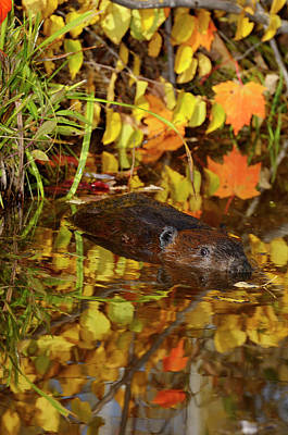 Beaver Photograph - Portrait Of A Canadian Beaver Floating In A Pond With Reflected  by Reimar Gaertner