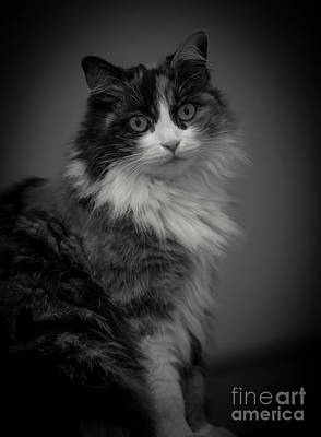Photograph - Portrait Of A Cat by Mats Silvan