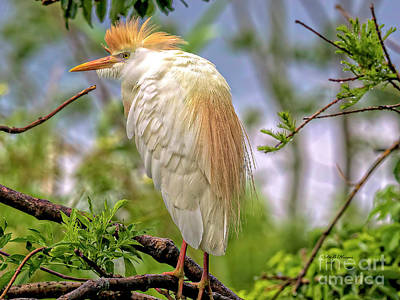 Portrait Of A Cattle Egret Art Print