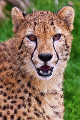 Wildlife Photograph - Portrait Of A Cheetah by Marcia Colelli