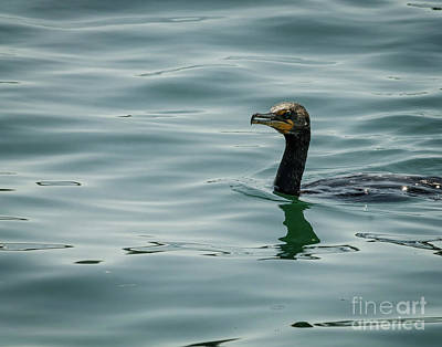 Photograph - Portrait Of A Cormorant by Claudia M Photography