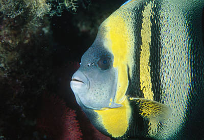 Portrait Of A Cortez Angelfish Print by James Forte