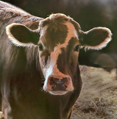 Portrait Of A Cow Art Print by Phyllis Taylor