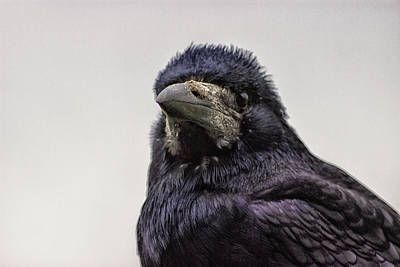 Wild Wings Photograph - Portrait Of A Crow by Martin Newman