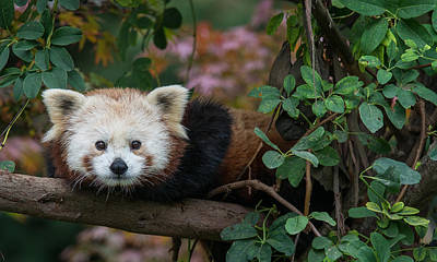 Photograph - Portrait Of A Curious Red Panda by Greg Nyquist