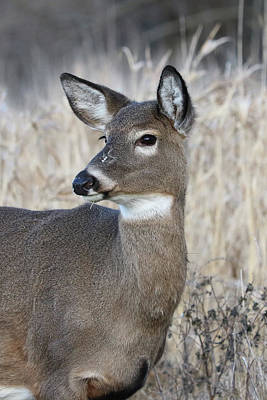 Photograph - Portrait Of A Doe by Doris Potter